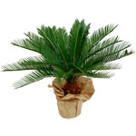 EntreNous74 dites le avec des fleurs le portail des pays de Savoie : CYCAS